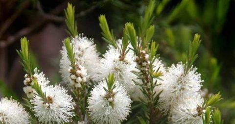 aceite de Árbol de té y sus usos medicinales