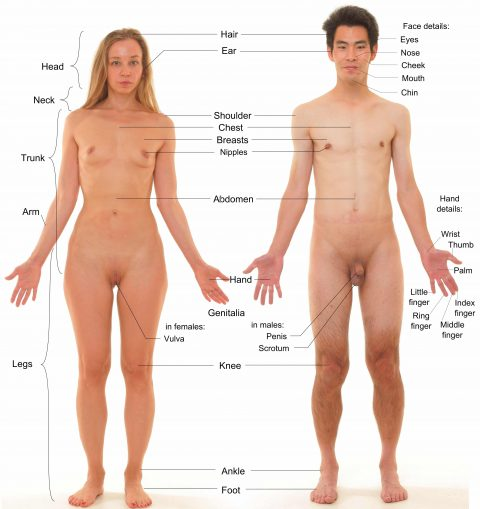 anterior_view_of_human_female_and_male,_with_labels